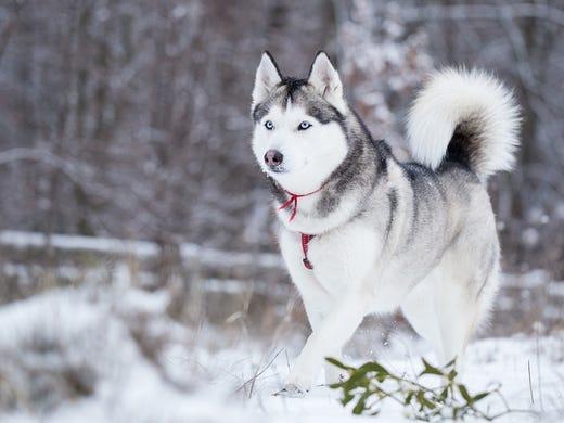 12. Siberian huskies • 2016 rank: 12 • 2007 rank: 24