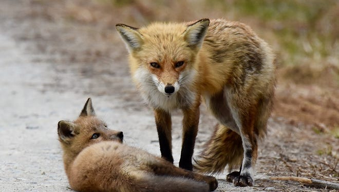 Red fox and kit.