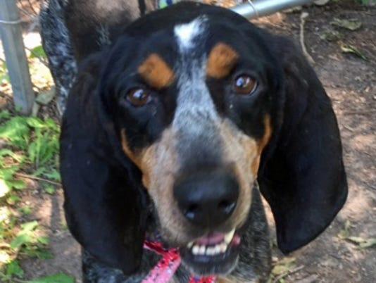 636397903055482228-Rocky-coonhound-cropped.jpg