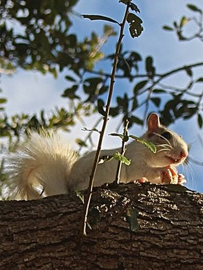 This white squirrel ate a peanut in a tree near Pine