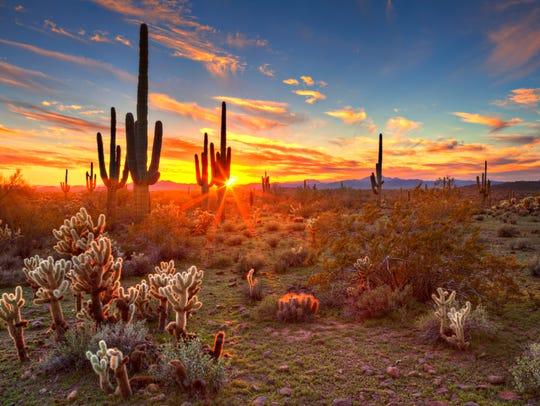 Sun is setting beetwen Saguaros, in Sonoran Desert,