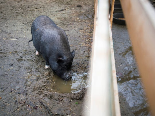 A potbelly pig takes a drink of water on site at the Paws Discovery Farm Wednesday, March 1 in Mount Laurel.