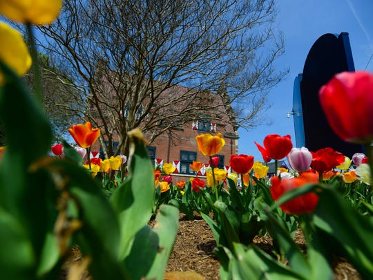 Tulips line downtown Lewes during its 8th Annual Lewes