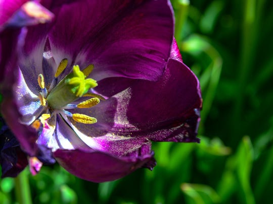 Pollen in a tulip in Bethany Beach on Monday, April