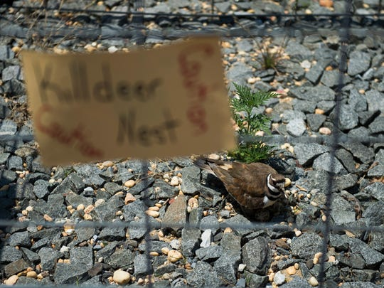 A Killdeer protects its eggs in a fenced off, protected