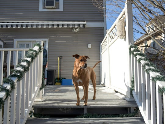 May, a 10-year-old Rhodesian Ridgeback and Rottweiler mix, stands atop the stairs in the backyard Wednesday, Jan. 10, 2018 in Collingswood, N.J.