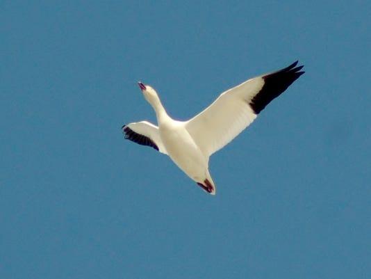 1-LDN-DW-022116-Snow-geese.jpg