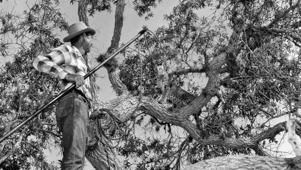 Bill Piper, of Everglades Wonder Gardens, capturing a bobcat.