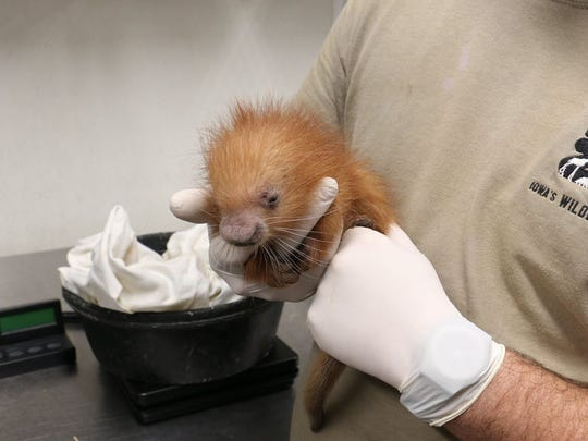 A baby prehensile-tailed porcupette arrived at the Blank Park Zoo on July 28.