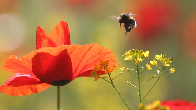 A bee flies over poppies in Milan, Italy, Friday, May 20, 2016.