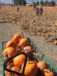 Kids wander through the patch at Ferrari Farms Pumpkin