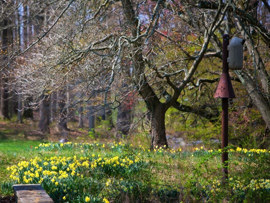 Daffodils fill the hills of Winterthur as flowers begin