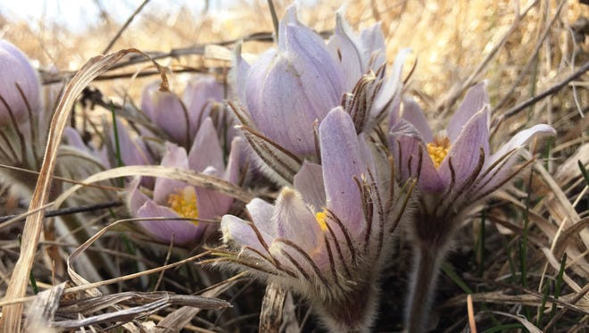 Pasqueflowers grow in clumps at Glendalough State Park near Battle Lake. The perennial members of the buttercup family are among the first flowers to bloom in spring.