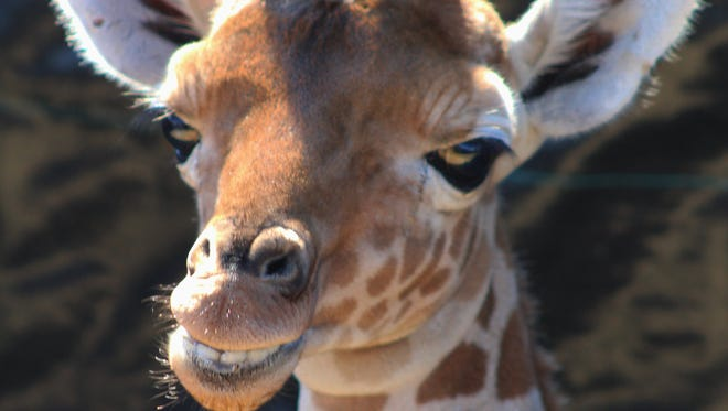 Elsa, a 2-week-old giraffe at the Global Wildlife Center in St. Tammany Parish, is doing well with special medical care, despite her mother's refusal to feed her.