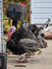 """Turkey"" hangs out in the side yard before retreating to the backyard of Garden City resident Mark Johnston."