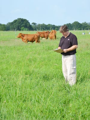 LSU AgCenter beef cattle researcher Guillermo Scaglia evaluates different forage systems for the production of grass-fed beef.