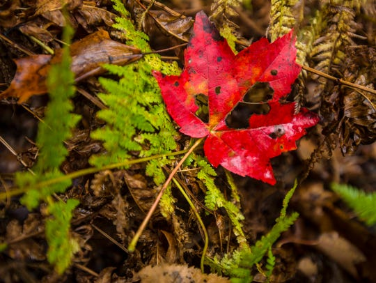 A maple leaf affected by blight is seen in the woods