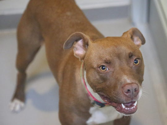 Halo, a 1 + year old female dog up for adoption at