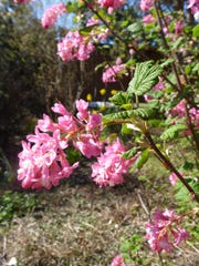 Red Flowering currant (2)