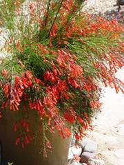 Planted in a tall, narrow Asian glazed pots, Russelia takes on a great new look.