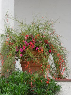 A taller Mexican pot gives Russelia the perfect home in a Spanish veranda.
