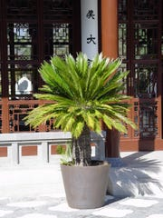 The top plant for this scenario is Cycas revoluta aka Sago palm in pots or in ground, available all over the valley.