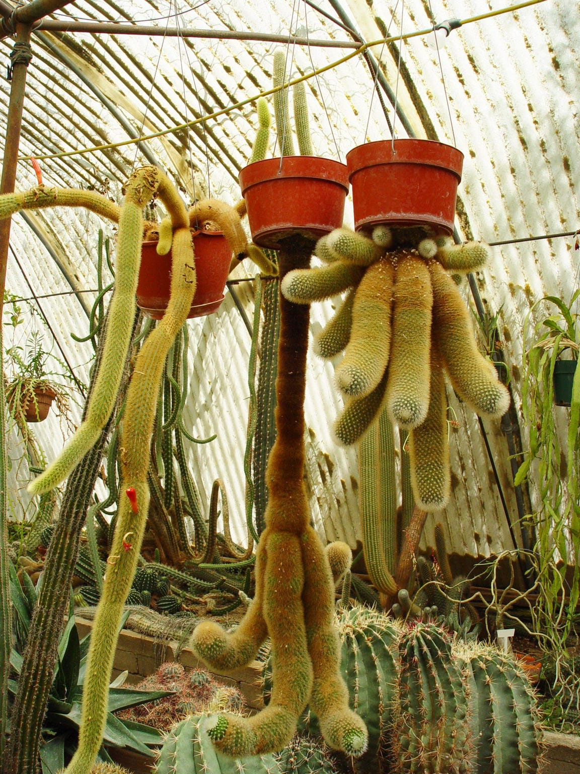 When much younger, Clark Moorten made the upside down cactus on the left that are decades old by the time it reaches this size.
