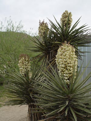 The big multi-trunk yuccas of the high desert produce incredible blooms right at eye level.