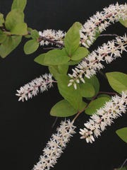Virginia willow flowers are popular with bees.