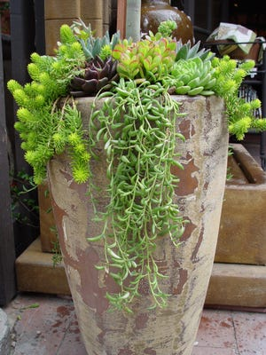 Add dangling Senecio to existing succulent pots or create a great composition from scratch for the coming season.