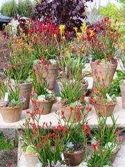 Australian kangaroo paws potted with succulents in terra cotta is the perfect porch or patio accent.