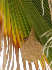 Oreoles weave their nests underneath the palm frond