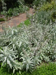 This is our native white sage, Salvia alipina, in cultivation,