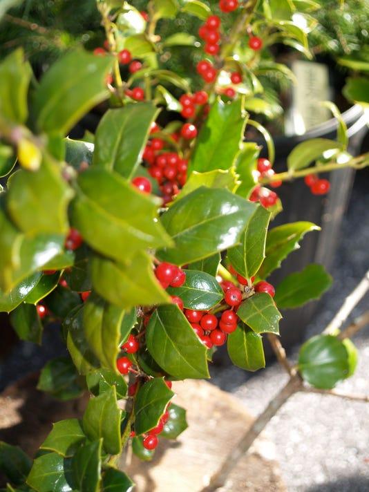 Holly-Tree-2.jpg