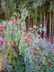 These mature nandinas with their fiery color are bright compared to the green bamboo behind.