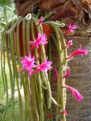Rat tail cactus love to live under palms and high tree canopies like the dry forests where they originate.