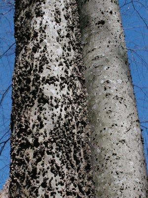 Rough, knobby bark distinguishes the sugarberry or celtis laevigata.