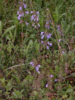 """Lyre-leaved sage"""" is part of the mint family"""