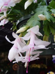 Pale Christmas cactus hybrids are exquisite up close where hummingbirds often come to feed on copious nectar.
