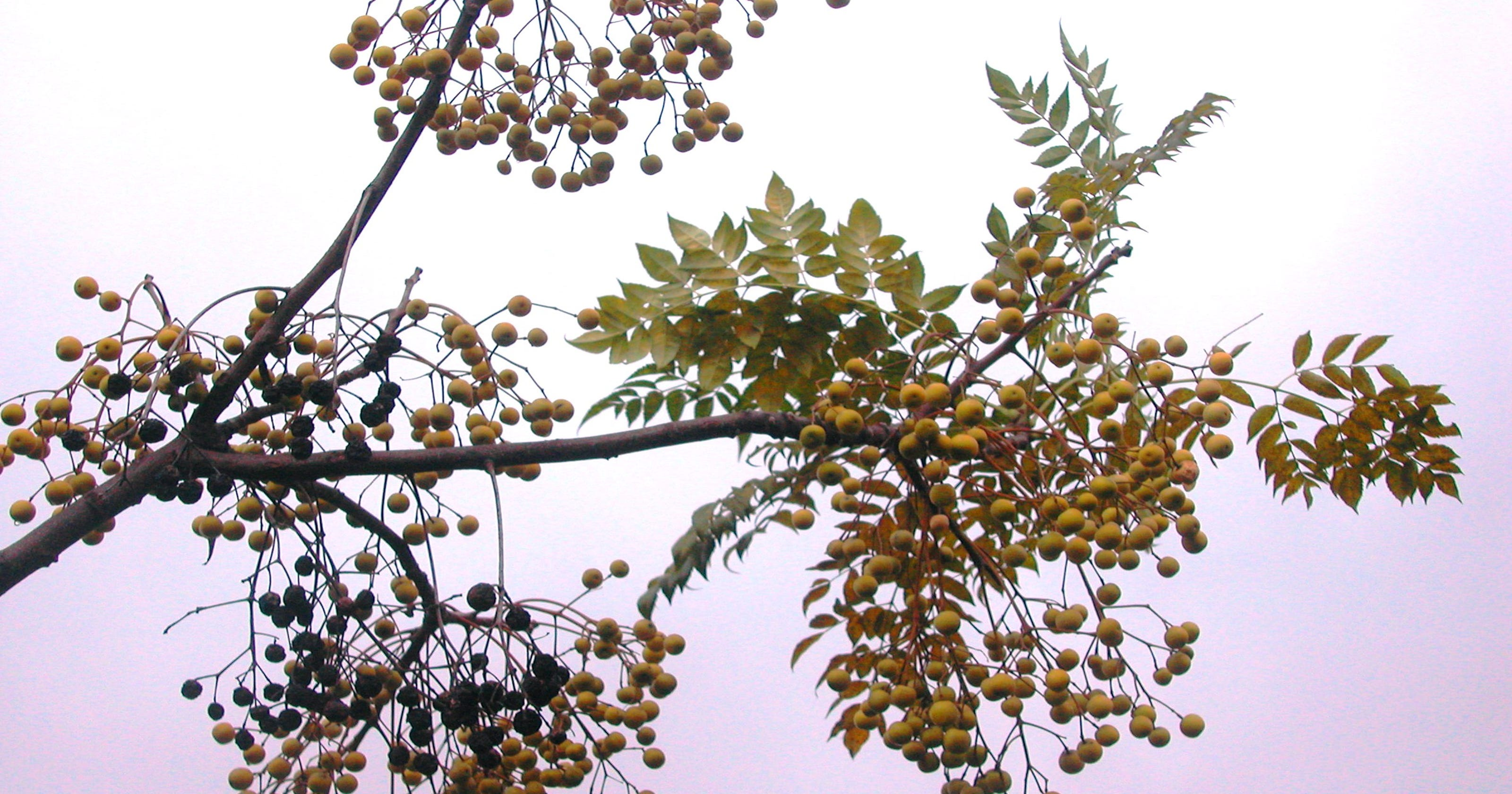 Part Ii More Fruit Of Poisonous Tree >> Fruits Of The Chinaberry Tree Are Poisonous