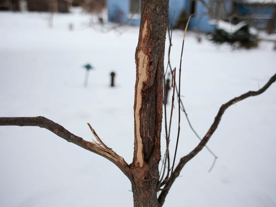 A dogwood tree that has been damaged by deer in the Shriner's backyard.