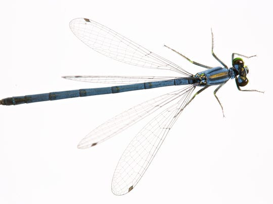Blue Damselfly.From One Cubic Foot of the Genesee River, Rochester, New York
