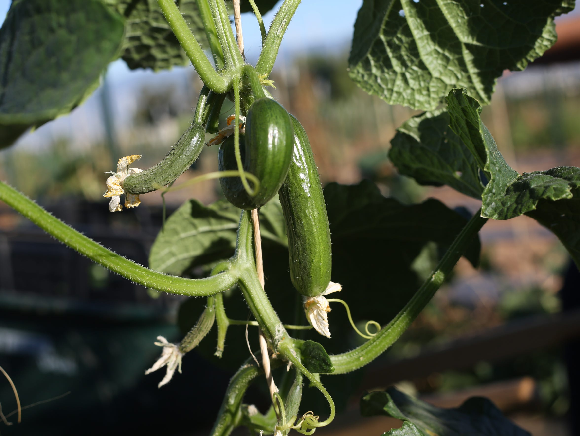 Farmworker Marco Franco picks Persian Cucumbers at