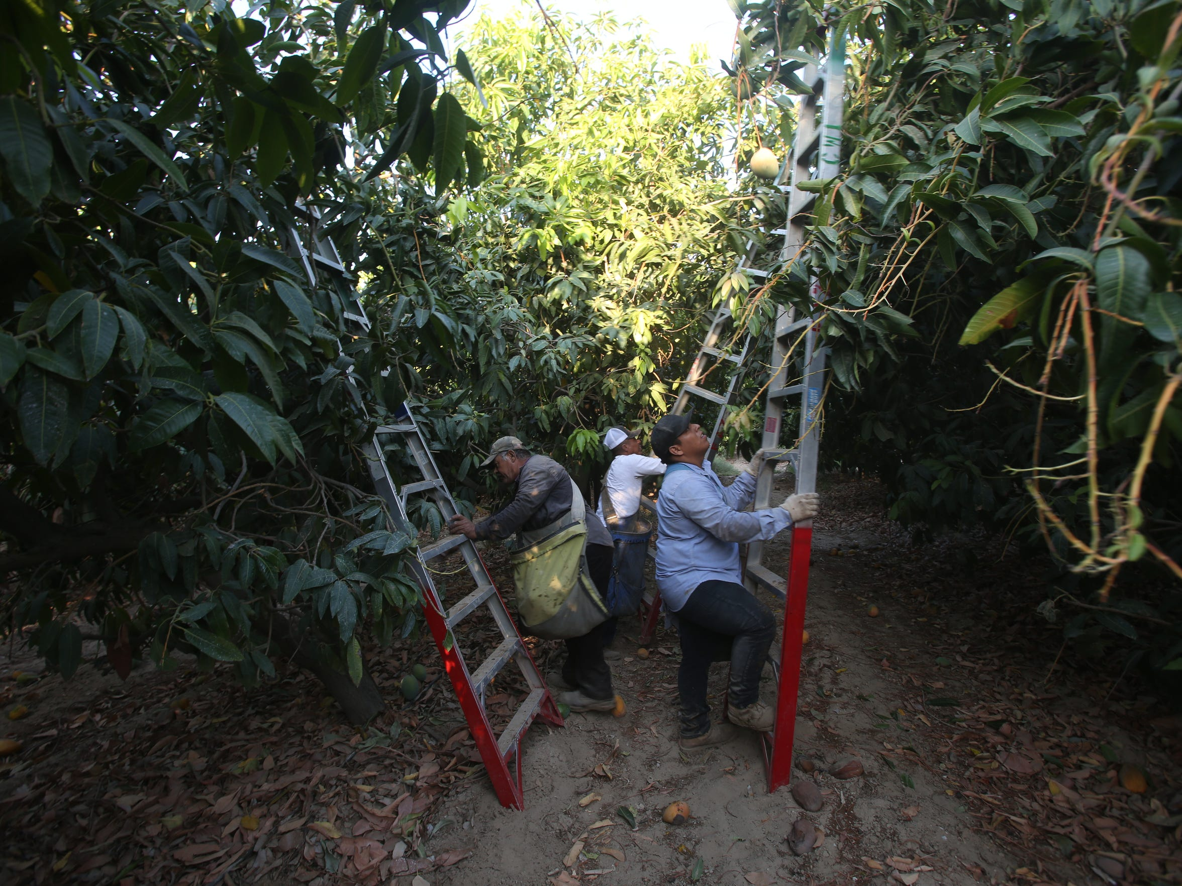 Farmworkers use ladders to pick mangos in Imperial