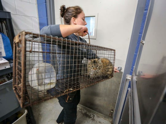 Animal control officer Devon Strief unloads a stray cat trapped on the north side of Des Moines, Iowa, on Monday, Nov. 16, 2015, for processing at the Animal Care and Control Center on Southeast 14th Street.