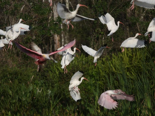File: A large contingent of birds in Rookery Bay.
