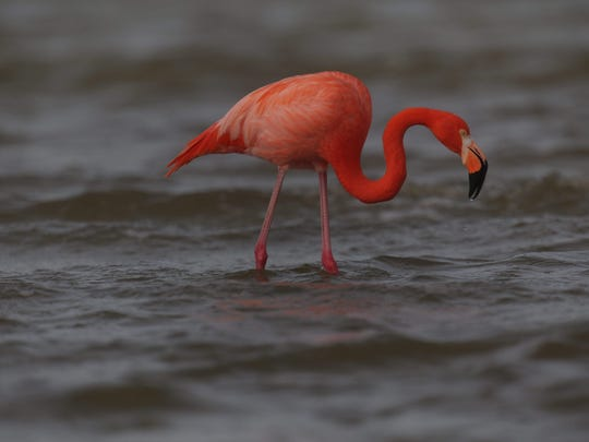 A rare sighting of a flamingo was spotted at Bunche Beach in south Fort Myers on Thursday 1/21/2016.  Flamingos are consistently confused with Roseate Spoonbills which are native to Southwest Florida.  There have been sightings of flamingos in Southwest Florida but they are very rare.  Some think that they are escapees from the east coast of Florida.