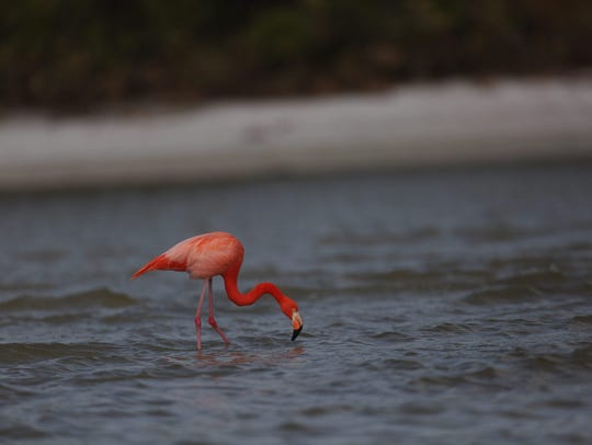 A rare sighting of a flamingo was spotted at Bunche