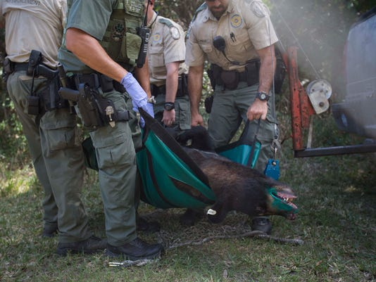 Black bear tranquilized at Three Oaks