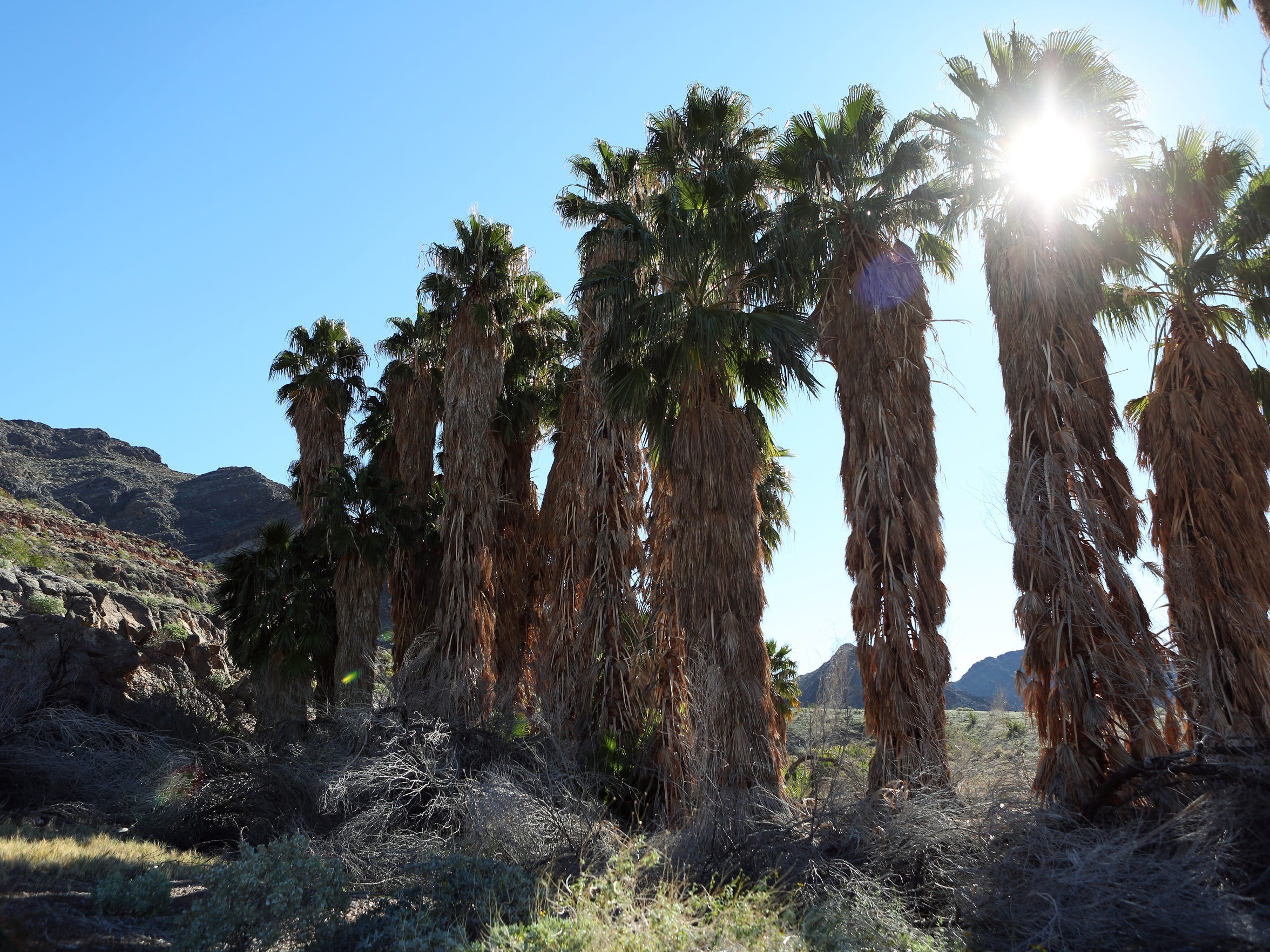 California fan palms surround Chappo Spring in the Amargosa River Basin near Death Valley.